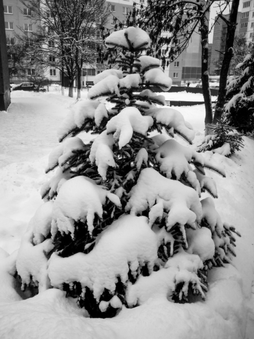 Black & White Photograph. Little Christmas tree.  #photography  #life  #winter  #nature