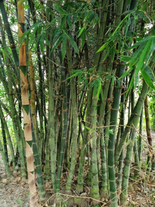 These are the ones we build our own house with a storm of bamboo Besides, we surrounded our land and earning money by selling it many times. # earning # strom